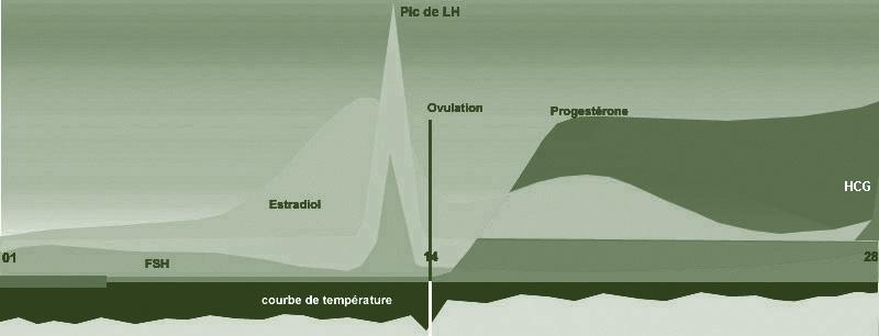 Cycle f minin - Hormones de grossesse apres fausse couche ...