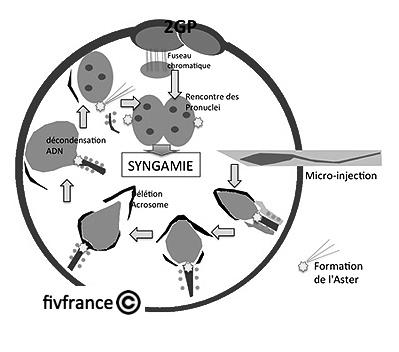 4.3 Le parcours des spermatozo des jusqu l ovule - la capacitation